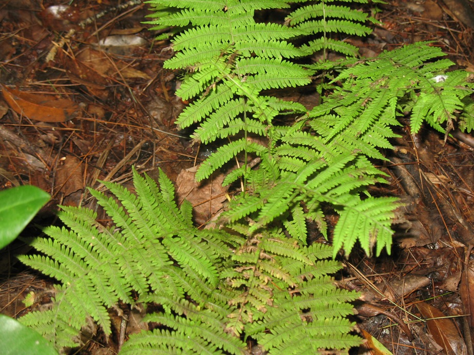 Thelypteris noveboracensis / New York Fern