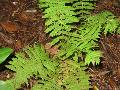 New York Fern / Thelypteris noveboracensis