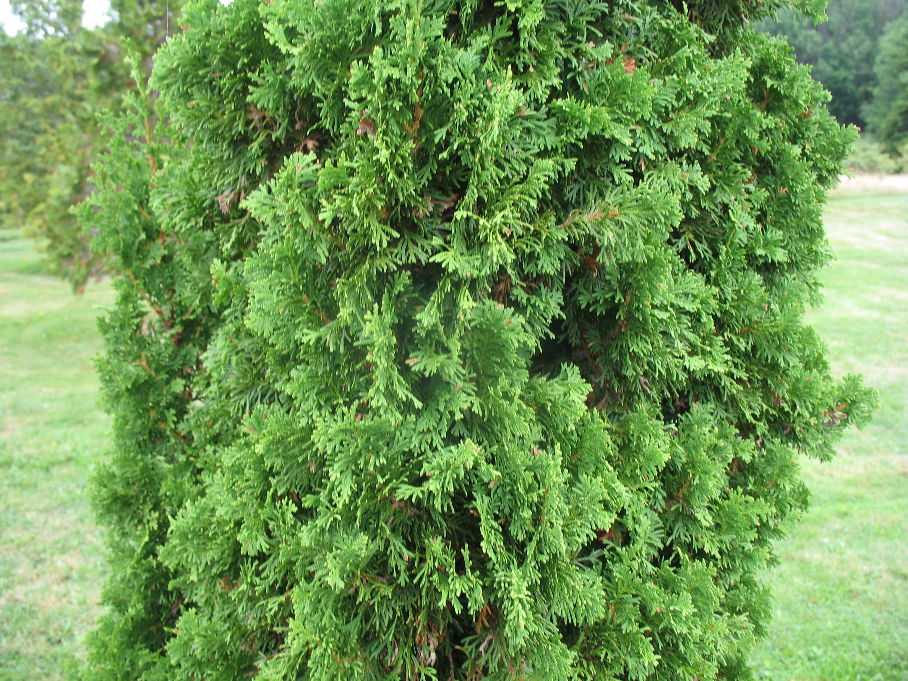 Thuja occidentalis 'Degroot's Spire'   / Thuja occidentalis 'Degroot's Spire'