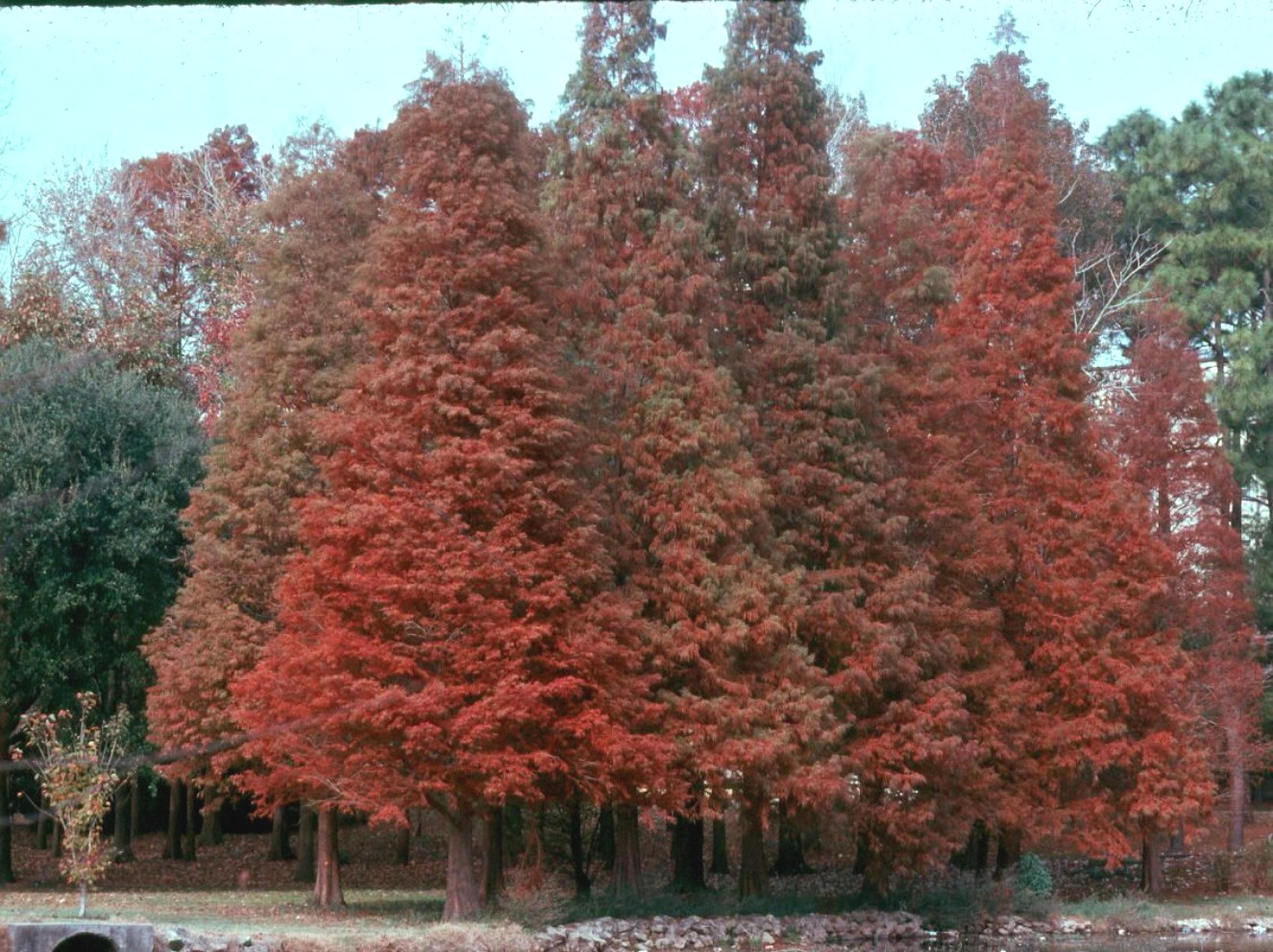 Taxodium distichum  / Taxodium distichum