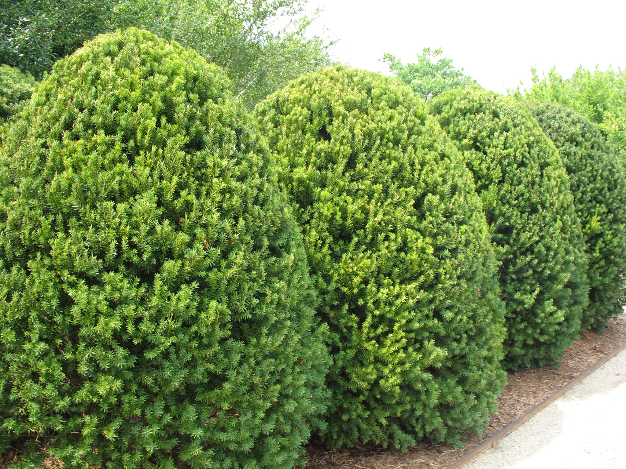 Online Plant Guide Taxus X Media Hicksii Hicks Yew
