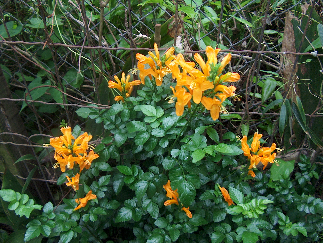 Tecomaria capensis 'Aurea'  / Golden Yellow Cape Honeysuckle