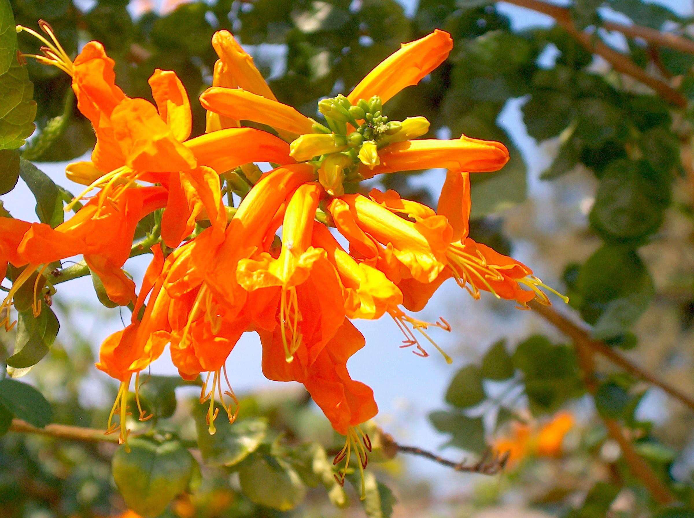 Tecomaria capensis  / Tecomaria capensis