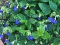 Blue Glory Thunbergia / Thunbergia battiscombe