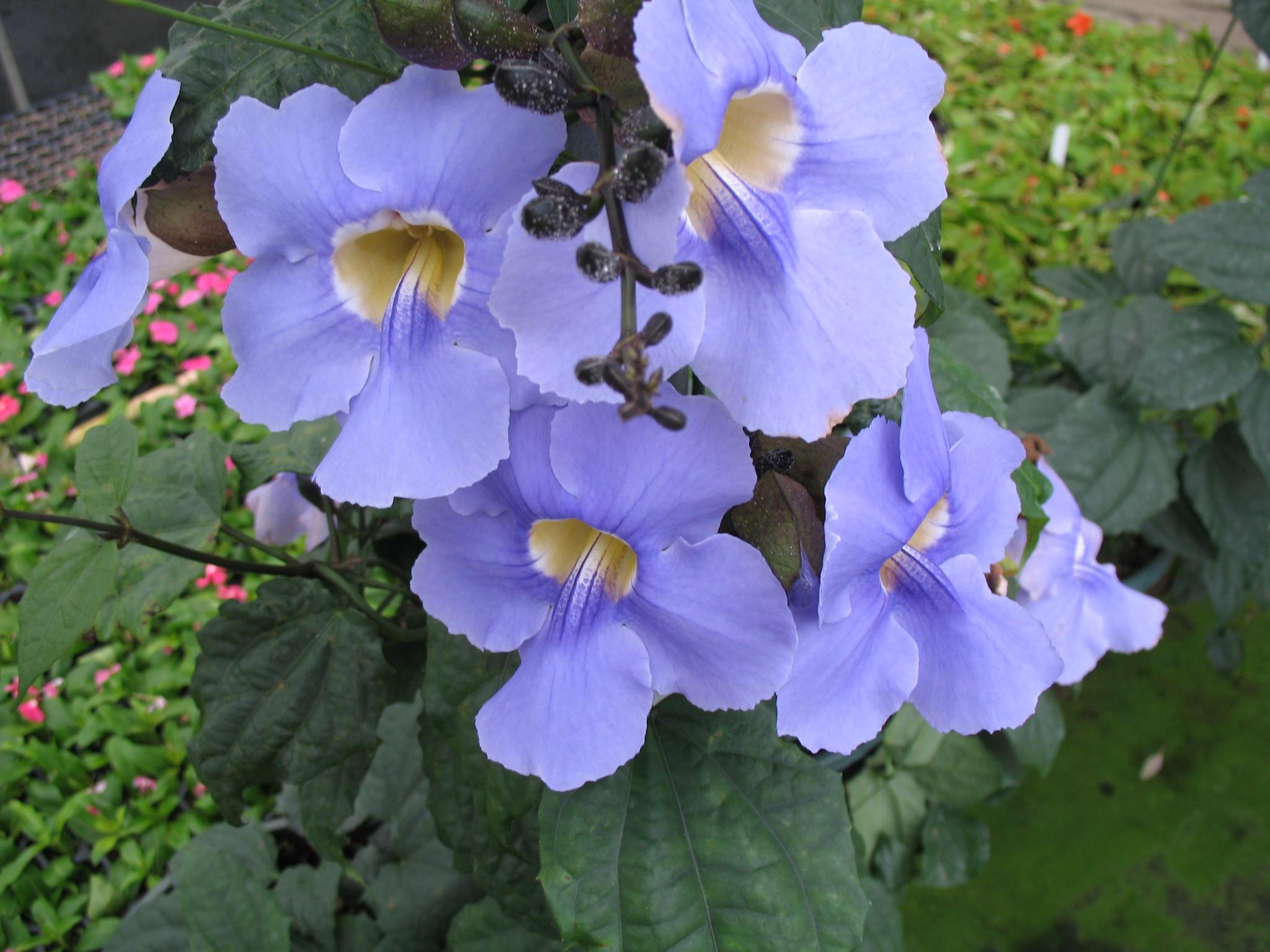 Thunbergia grandiflora / Thunbergia grandiflora