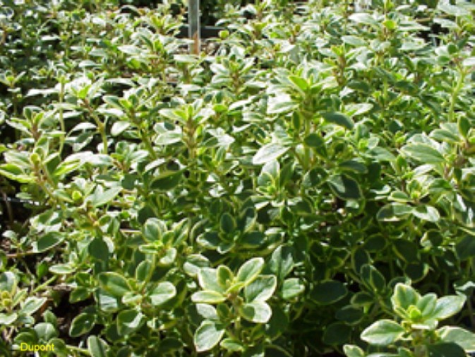 Thymus vulgaris 'Variegated Lemon'  / Thymus vulgaris 'Variegated Lemon'