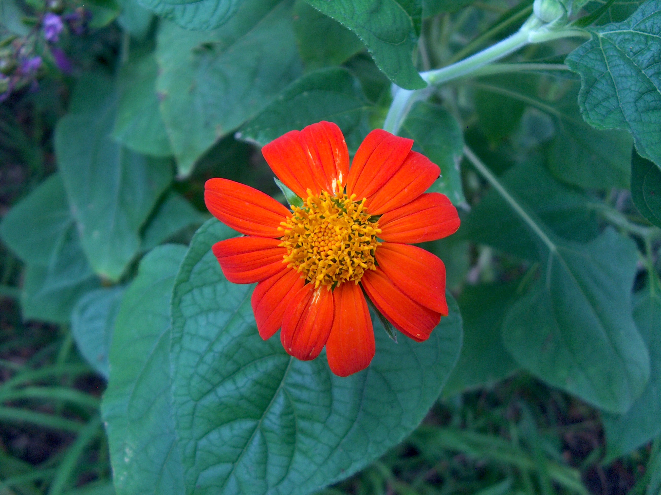 Tithonia rotundiflora / Tithonia rotundiflora