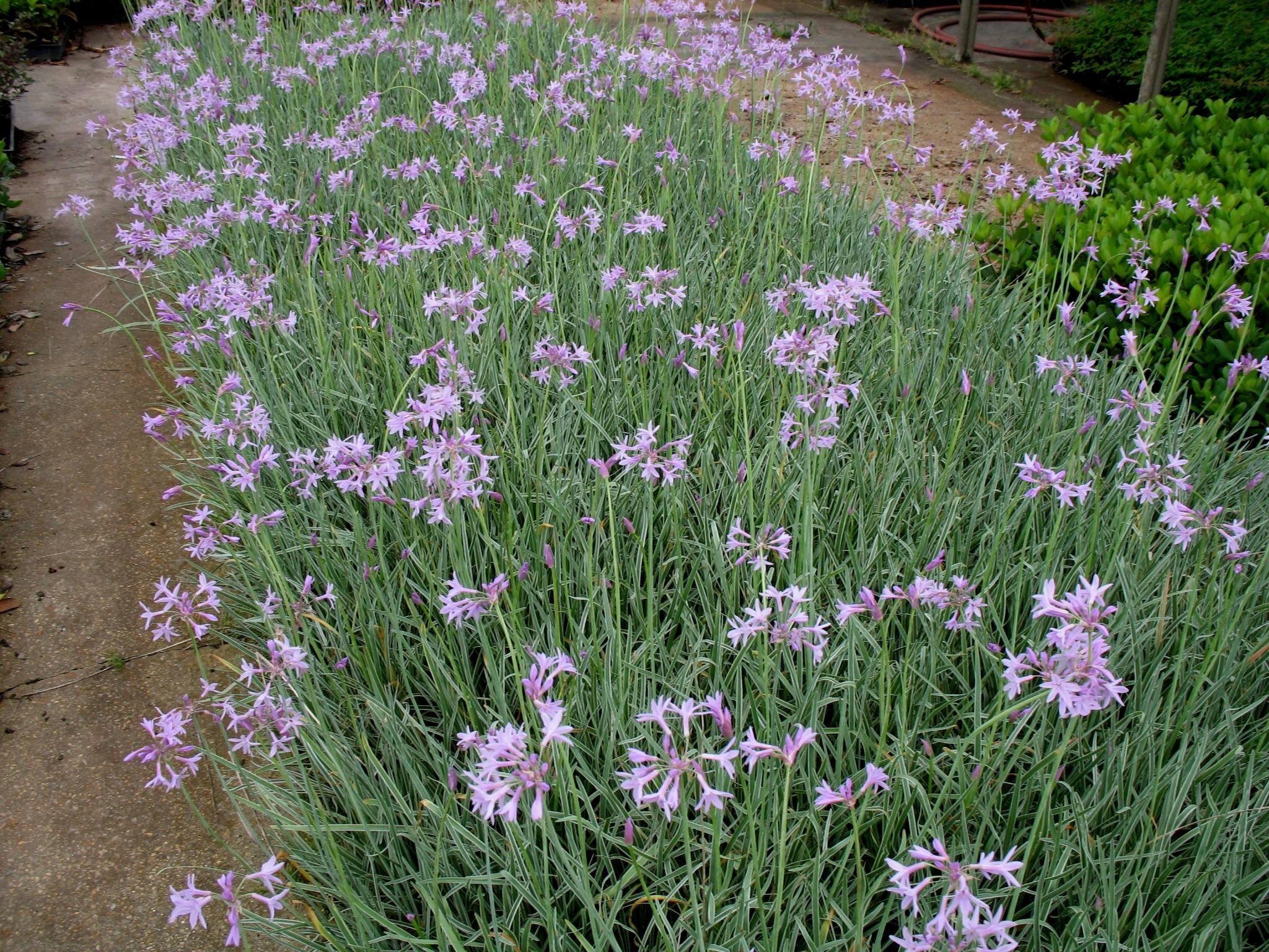 Tulbaghia violacea 'Tricolor'  / Variegated Society Garlic