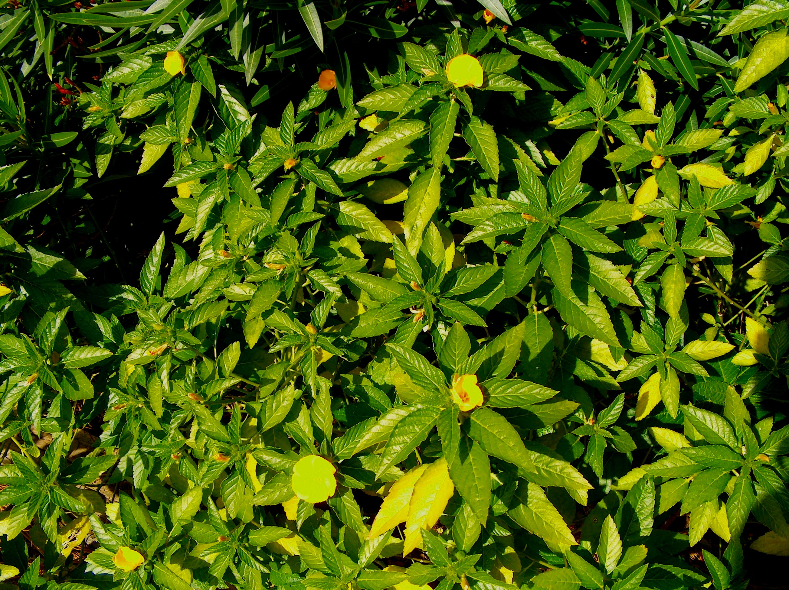 Turnera ulmifolia  / Turnera ulmifolia