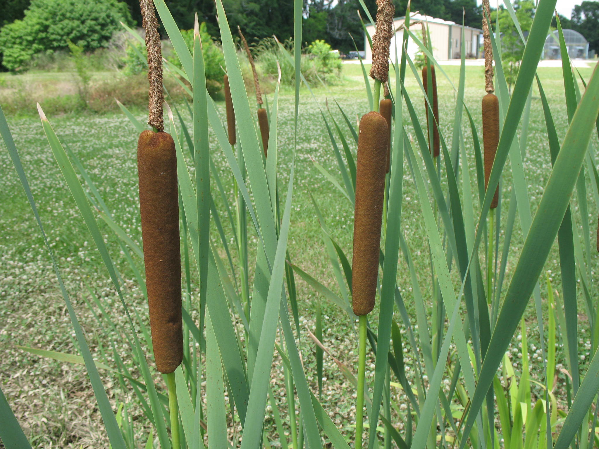 Typha latifolia / Typha latifolia