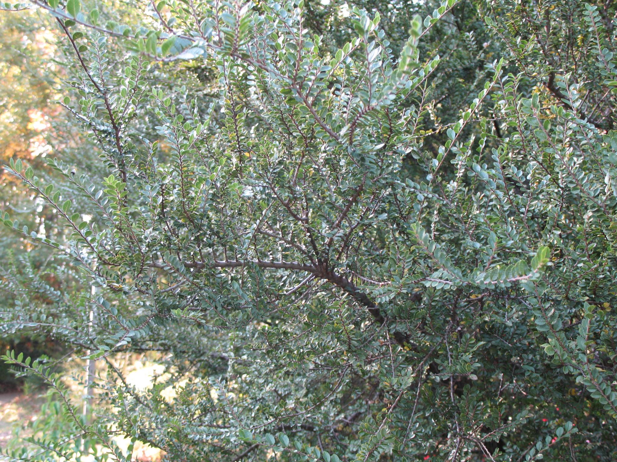 Ulmus parvifolia 'Seiju'  / Ulmus parvifolia 'Seiju'