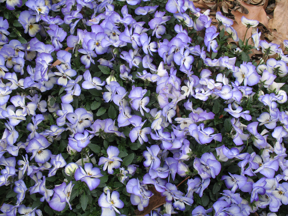Cover Of Small Purple Flowers Online Plant Guide Viola Sweet Coconut Swirl