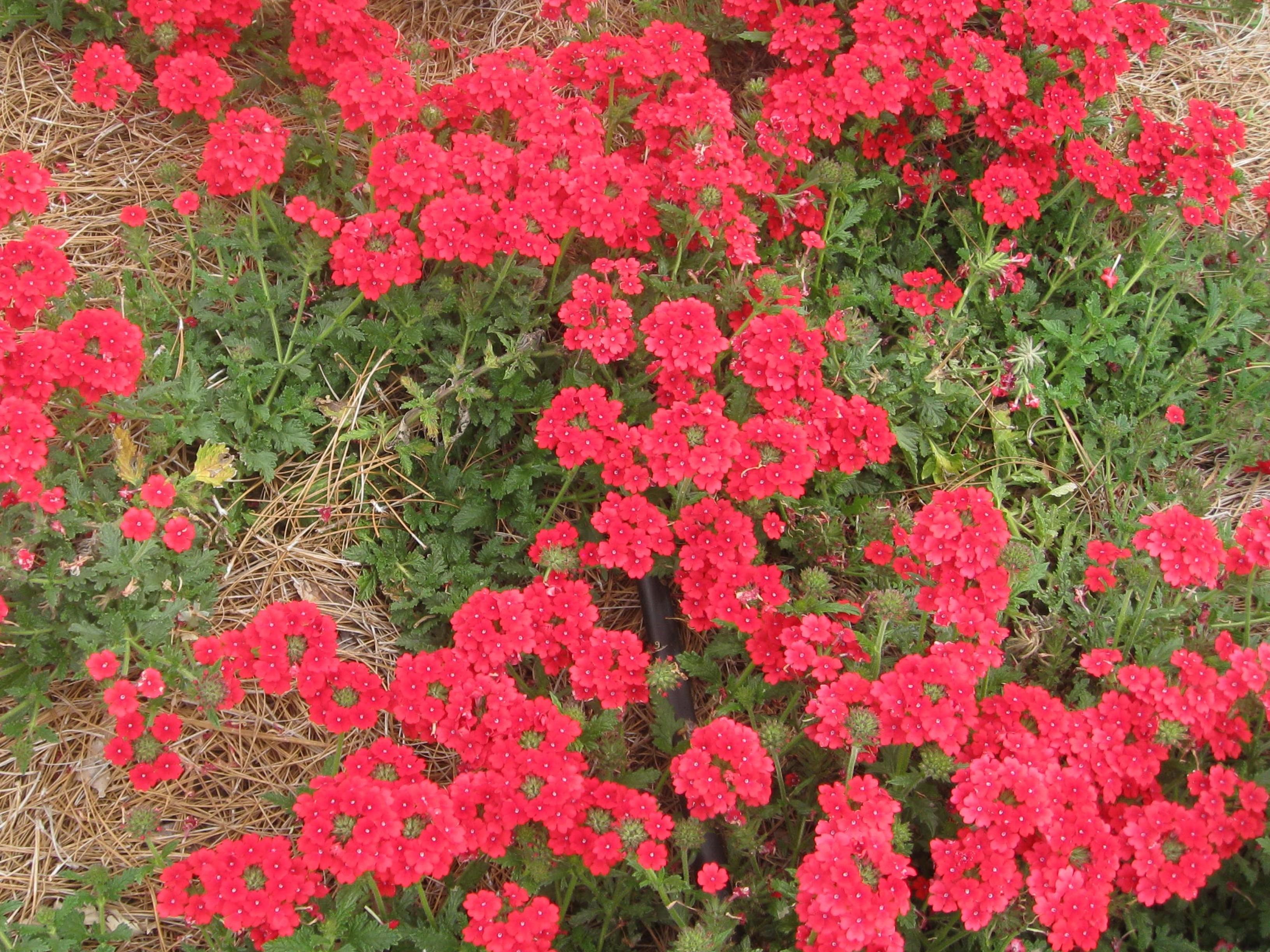 Verbena x hybrida  'Wildfire' / Verbena x hybrida  'Wildfire'