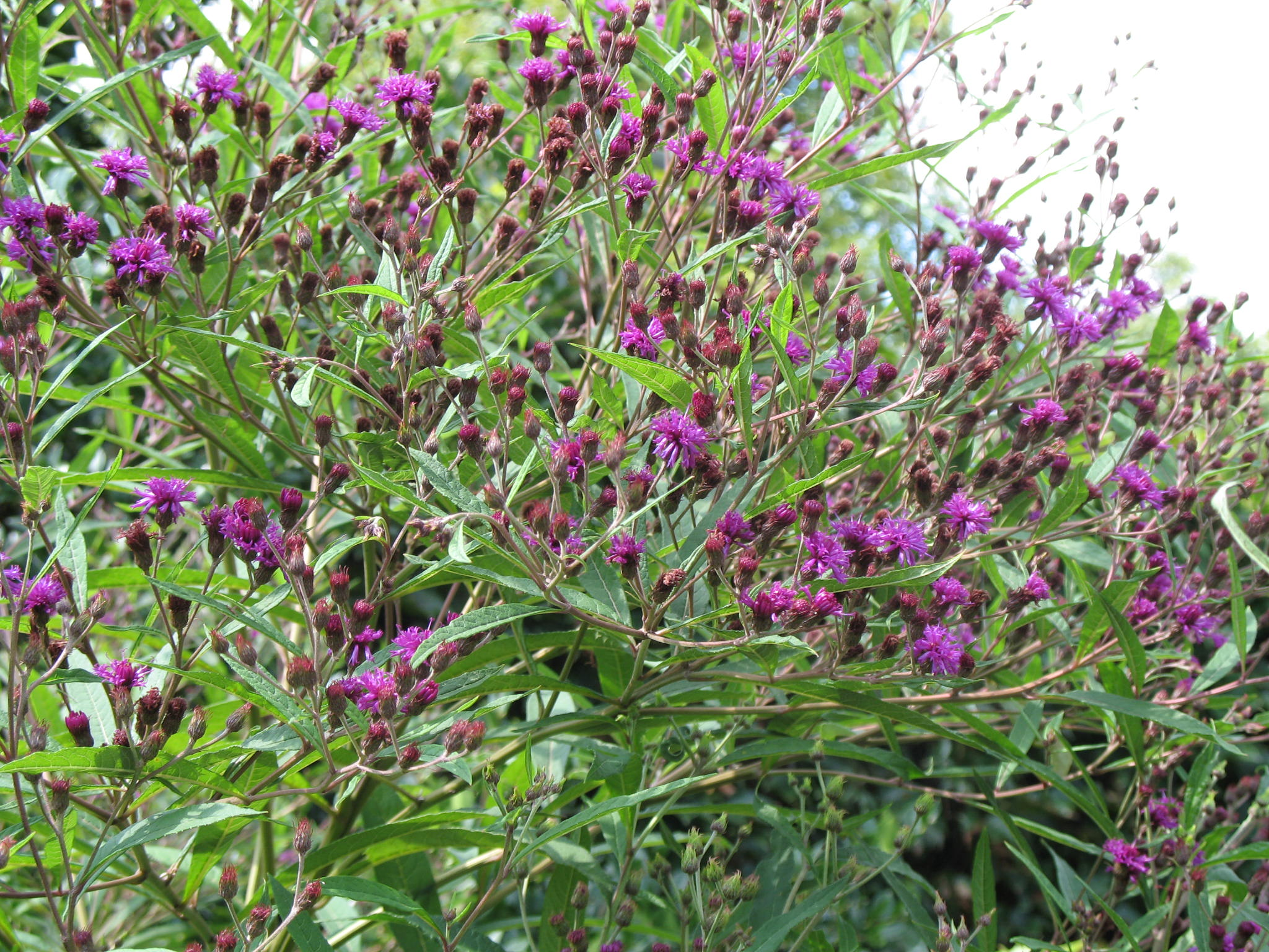 Vernonia altissima  / Ironweed