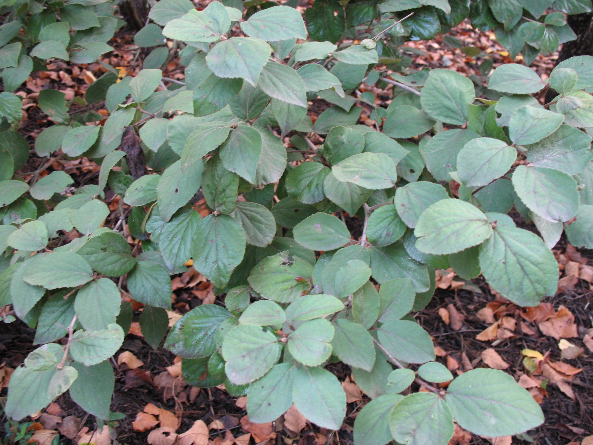 Viburnum carlesii / Viburnum carlesii