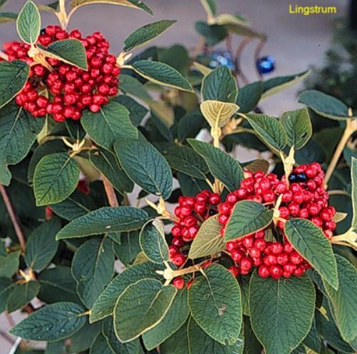 Viburnum lantana / Viburnum lantana