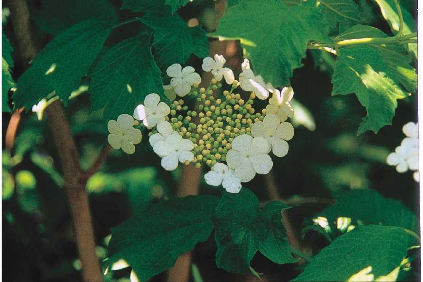 Viburnum opulus var. americanum   / Viburnum opulus var. americanum