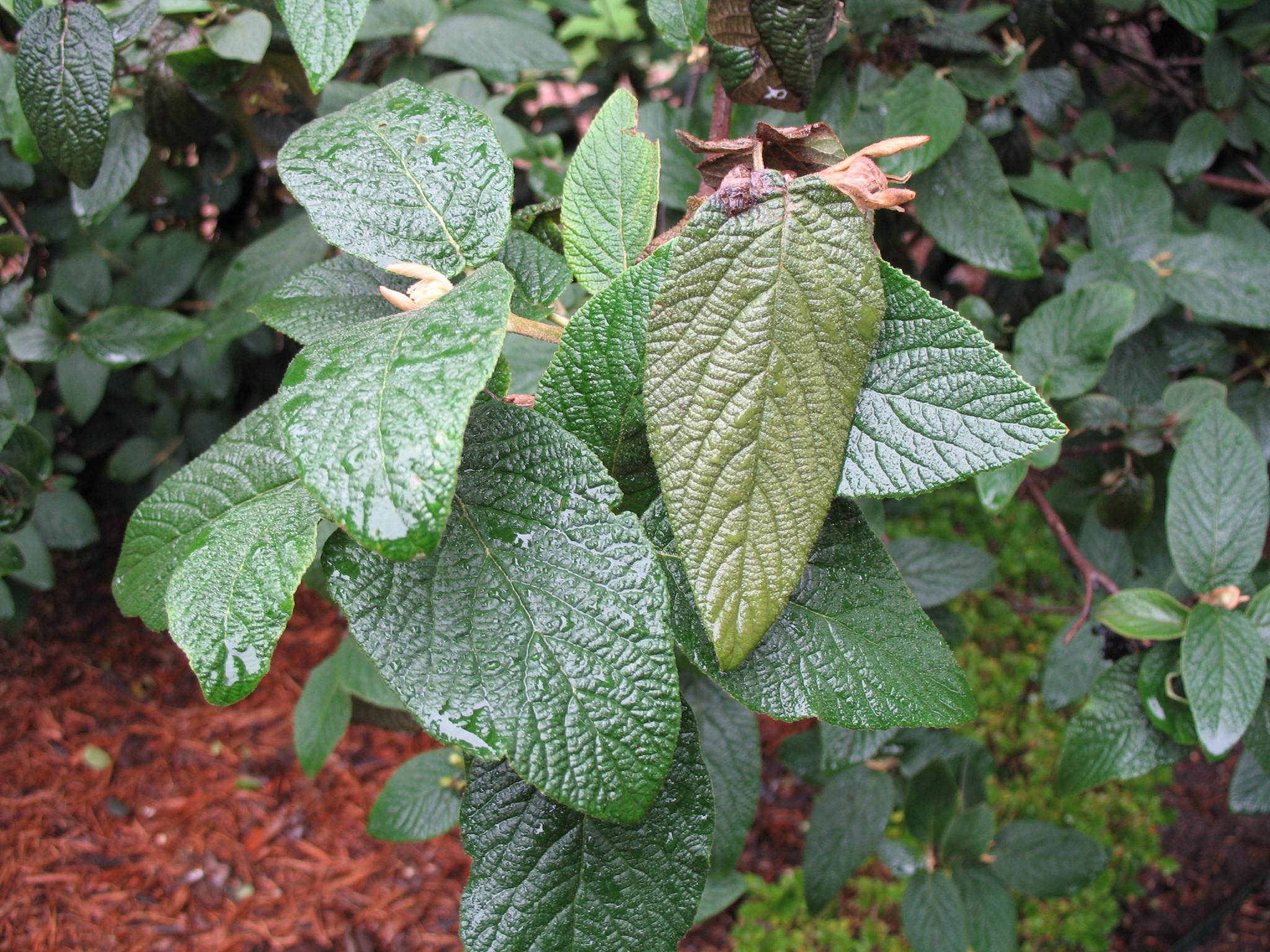 Viburnum x rhytidophylloides 'Willowwood'  / Viburnum x rhytidophylloides 'Willowwood'