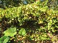 Grape / Vitis species