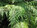 Mother Fern / Woodwardia orientalis