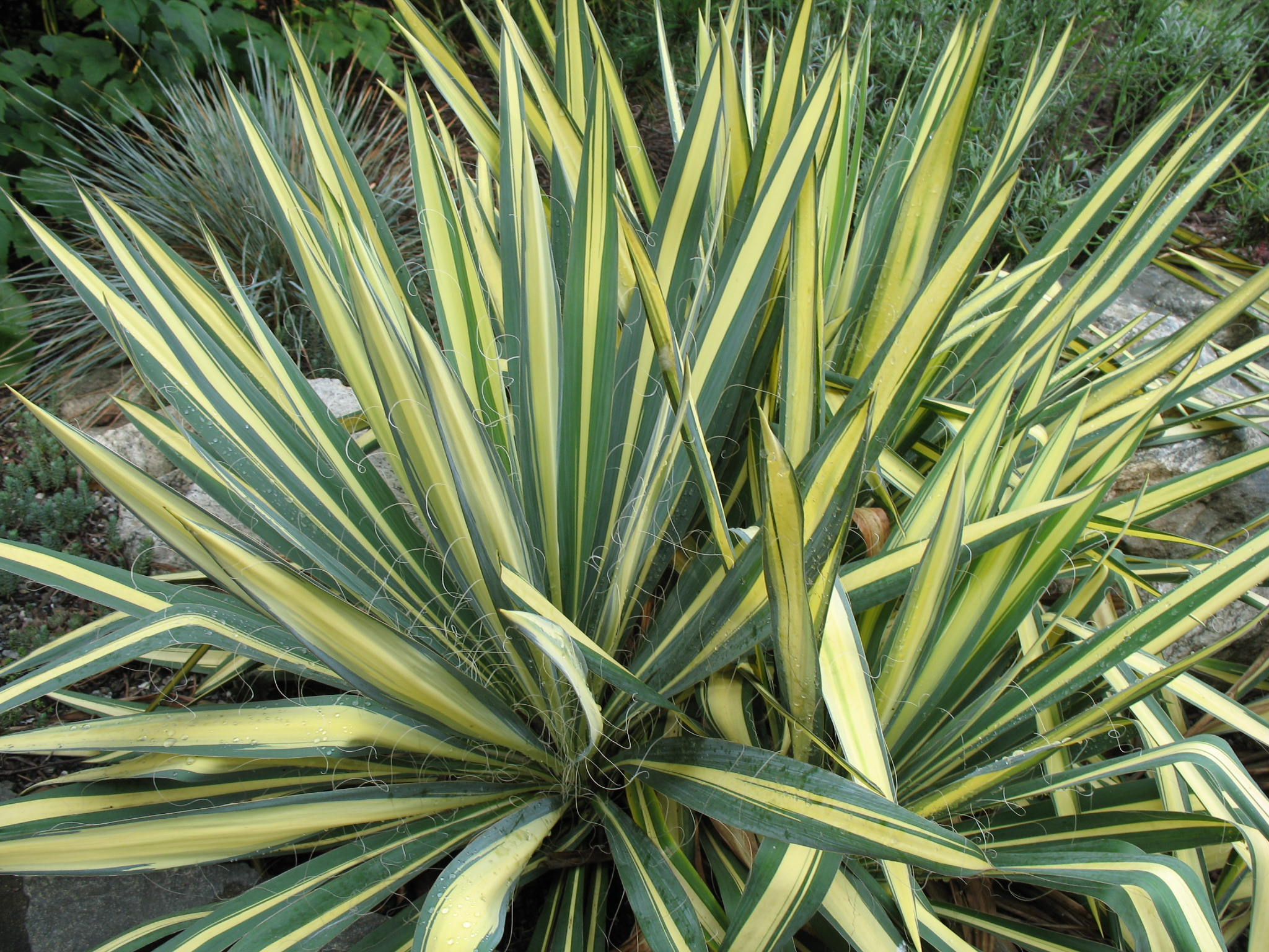 Color guard yucca images galleries for Plantes online