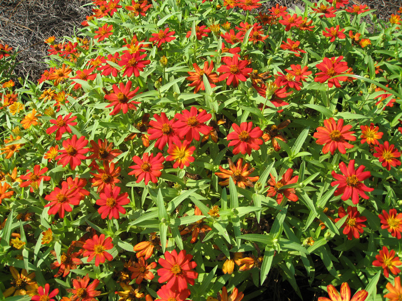 Zinnia marylandica  / Zinnia marylandica