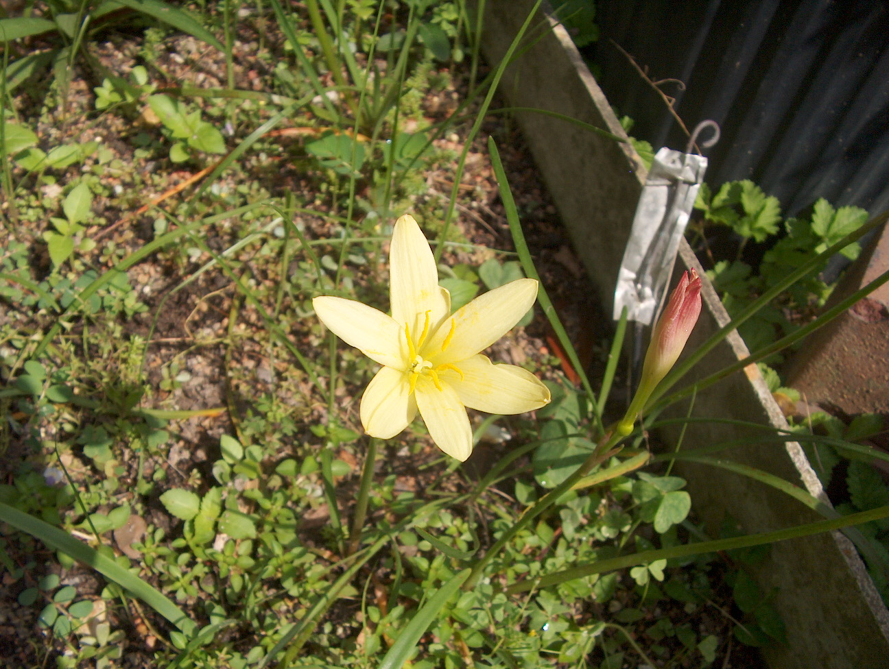Zephyranthes primulina / Yellow Rain Lily